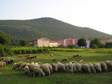 Sheeps and Krizevac